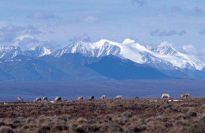 Porcupine Caribou Herd on the Coastal Plain of the Arctic National Wildlife Refuge. USFWS photo.