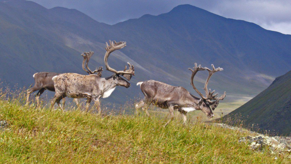 The Ambler road would hurt the Western Arctic Caribou Herb on its annual migration through Gates of the Arctic National Park and Preserve. Photo courtesy of Lisa Oakley