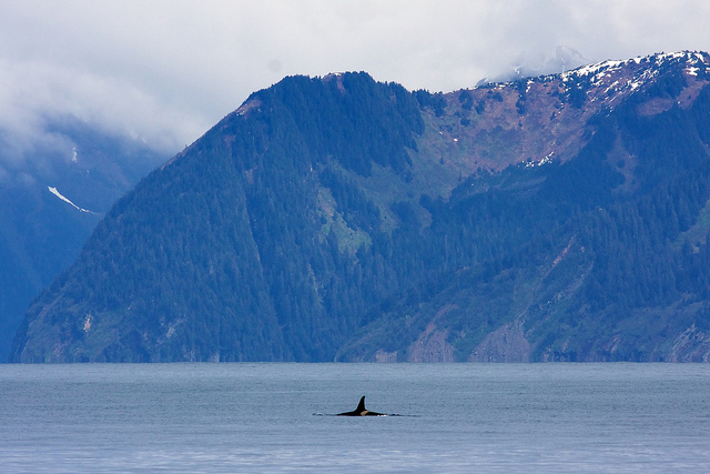 Resurrection Bay is home to abundant marine life including orcas also known as killer whales. NPS Photo by Jim Pfeiffenberger.