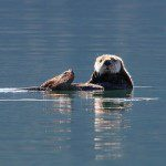 Sea otters live in Resurrection Bay. NPS Photo