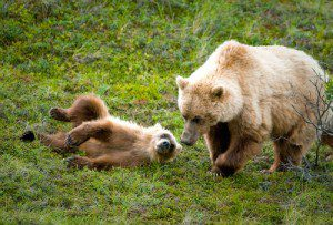 Cubs or sows with cubs are protected! NPS Photo