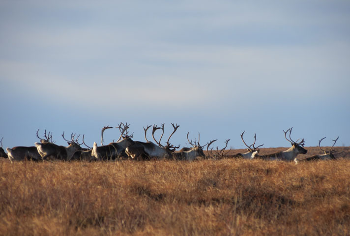 The Western Arctic Caribou Herd migrates through the road area and is an important subsistence resource. NPS Photo.