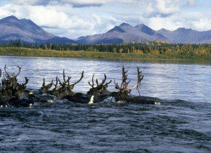 The Western Arctic Caribou Herd roams freely through the area of the proposed road. NPS Photo.