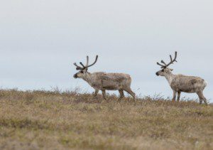 Caribou rely on the Arctic and subsistence users rely on the caribou