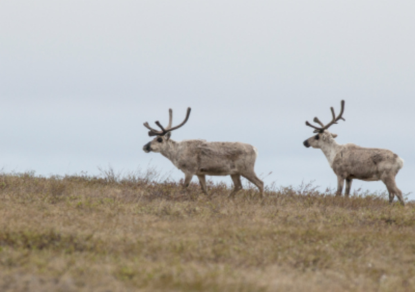 The Reserve is an important area for the Western Arctic Caribou Herd. BLM photo by Bob Wick.