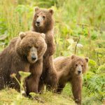 A brown bear sow and two cubs in the grass