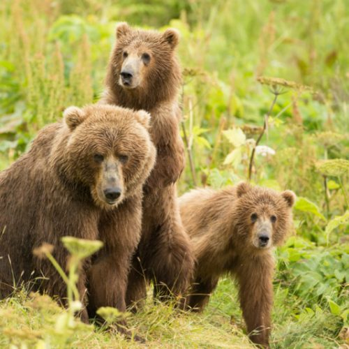 Protections for Alaska bears and wolves at risk