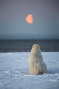 Polar bear looking at the sea and moon.