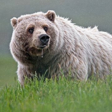 Grizzly bear in grass