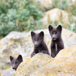 Three bears on a rock