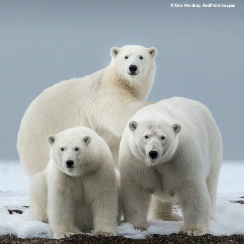 See polar bears in the wild!