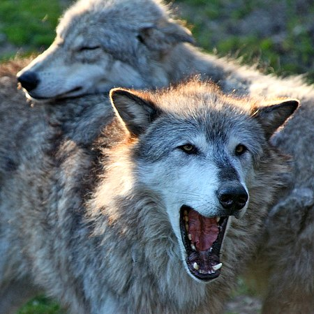 Interns on the issues: Does Alaska view wolves as vermin or vital species?