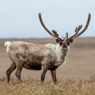 A Teshekpuk Lake caribou in the Western Arctic. BLM puts drilling over subsistence and cultural health of the caribou herd.