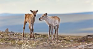 Two caribou calves in the Western Arctic.