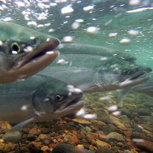 USFWS photo of salmon