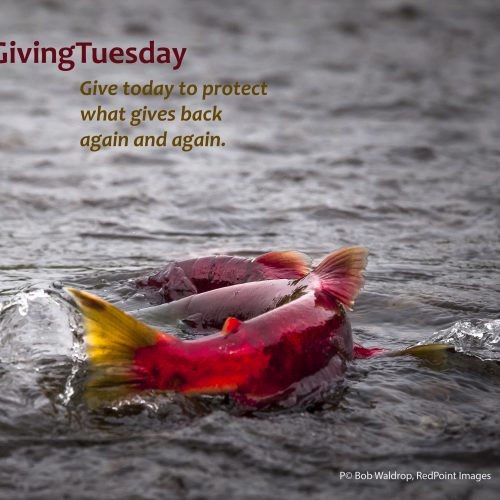 Join Giving Tuesday to protect the wild
