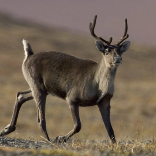 Congress allows drilling in Arctic Refuge