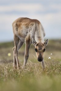 The Gwich'in consider the coastal plain of the Arctic Refuge because of its importance to the Porcupine caribou herd and their calves' survival.