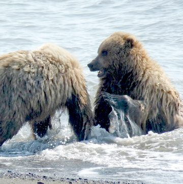 bear cubs playing in the water