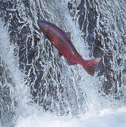 Still standing for salmon