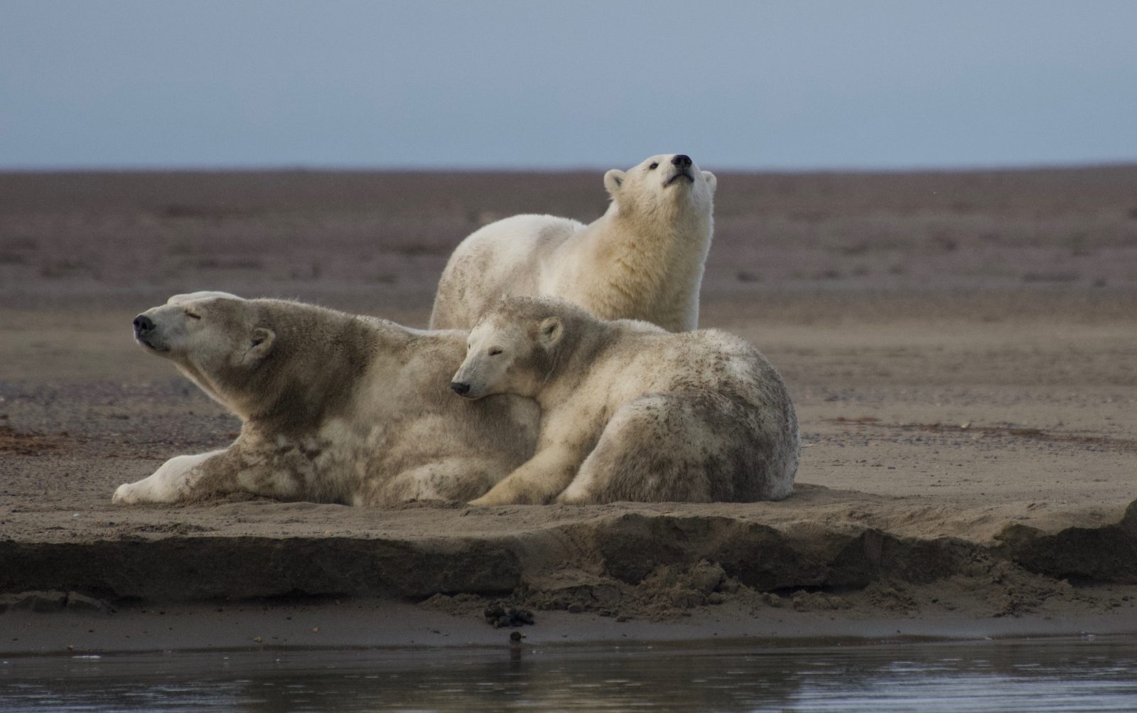 Three polar bears. Sow and cubs. A motion to stop harmful Willow construction this winter was filed Dec. 23.