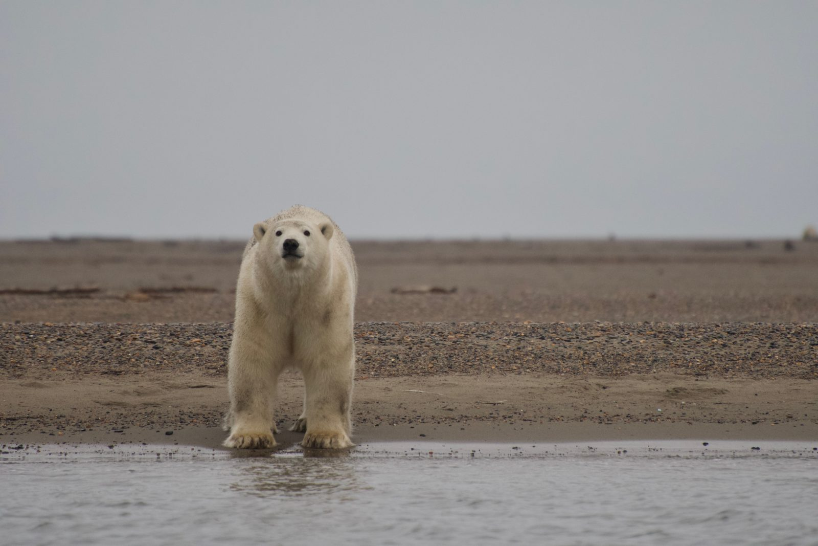 Willow project poses immediate threat to polar bears.