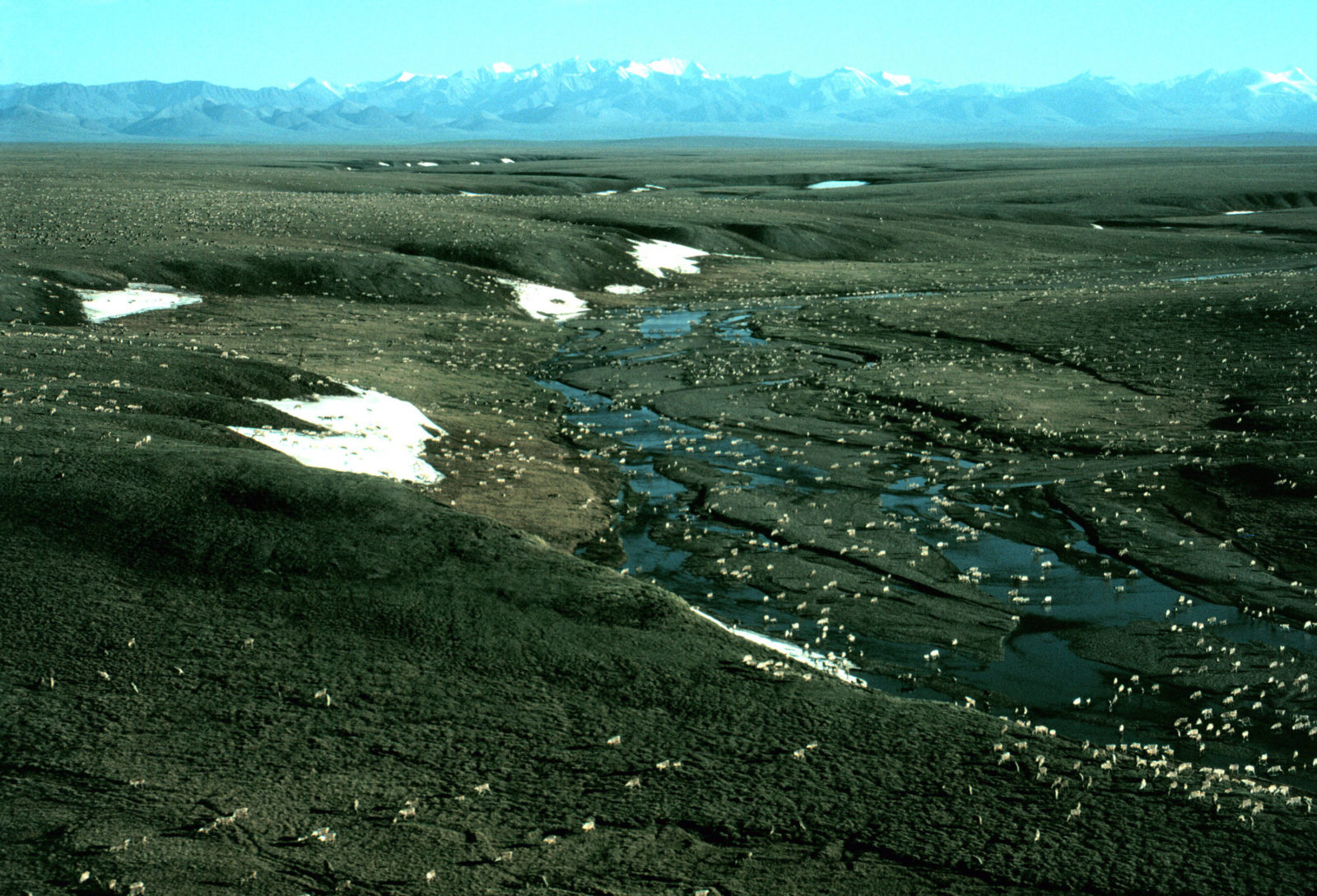 Caribou health requires protection of the Arctic Refuge.
