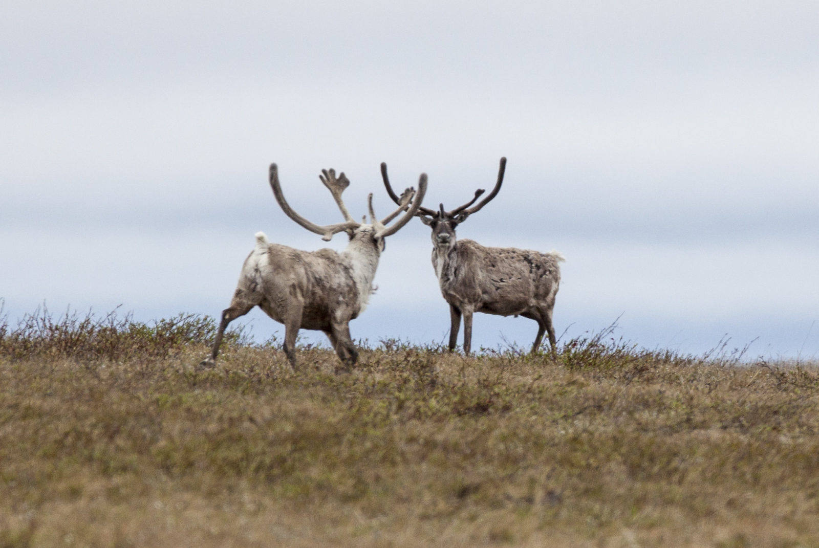 Court stops massive Willow project, pausing the threat on winter work on Teshekpuk caribou and traditional hunting.