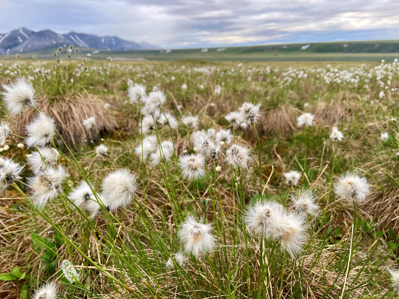 Arctic Refuge awe is bouncing on the tussocks at midnight. Here, a close foreground of tussock cottongrass gives way to distant mountains.