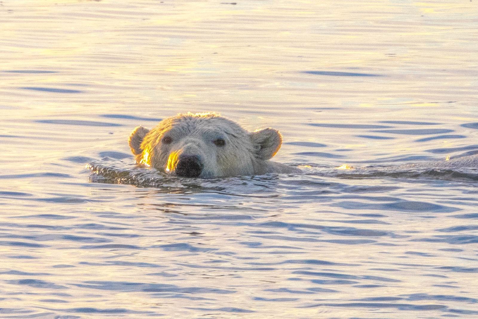 Swimming polar bear. Biden regulation imperils polar bears.