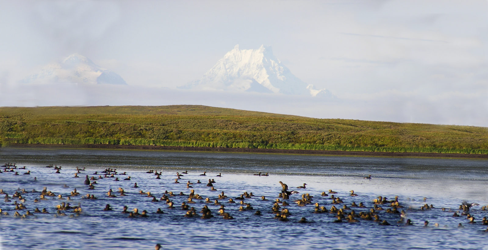 Birdlife depends on the eelgrass in Izembek Lagoon, just one reason protecting Izembek from a road means going to court again.  Here, Steller's eiders feed in Izembek Lagoon with Isanotski Volcano in the background.